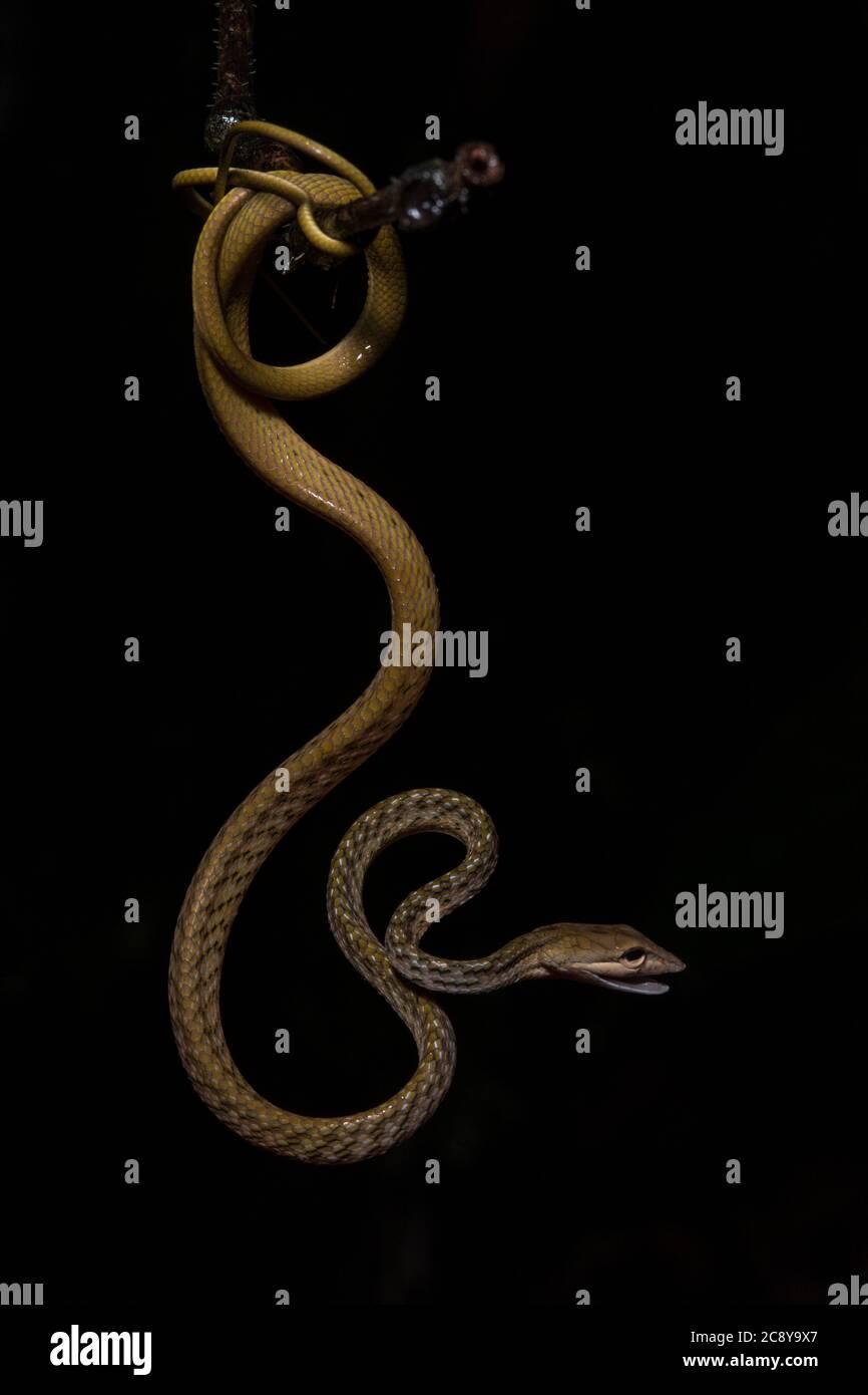 Una serpiente de vid asiática enrollada (Ahaetulla prasina) del Valle de Danum en Borneo malasio. Foto de stock