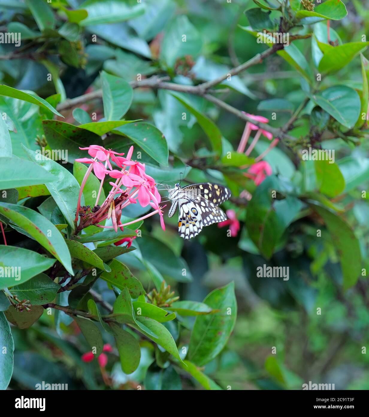 Mariposa marrón y blanca recoger néctar de la flor rosa Ixora, Kerala, India. Foto de stock