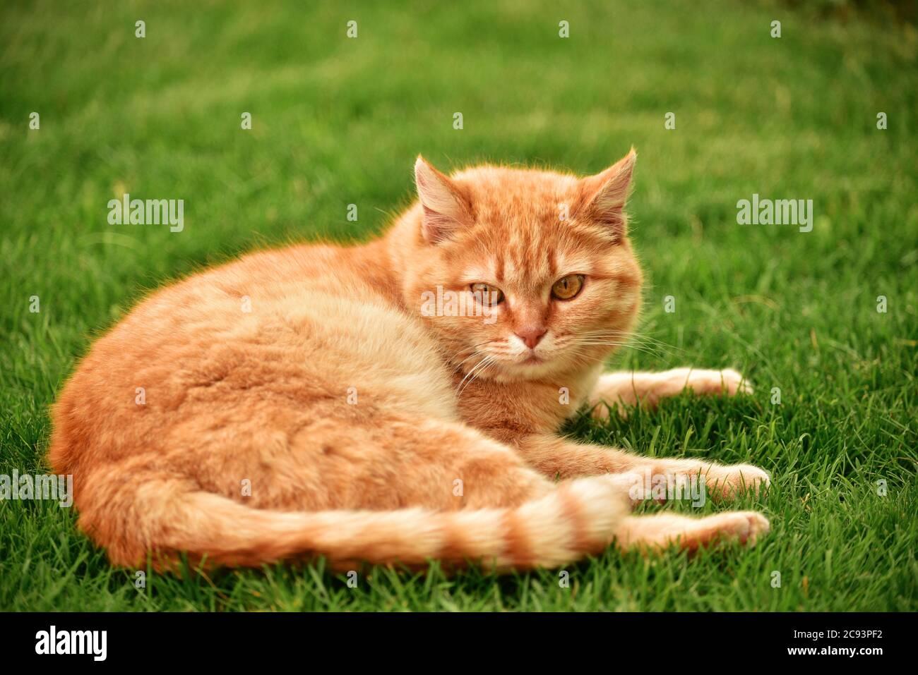 ginger gato en el jardín. Ginger gato en la hierba. Foto de stock