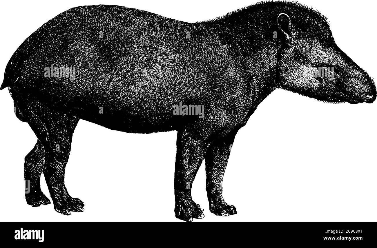 Tapir es un mamífero herbívoro en la familia Tapiridae del orden Perissodactyla, tiene cuerpos redondos, piernas cortas y hocinas largas, línea vintage drawi Ilustración del Vector
