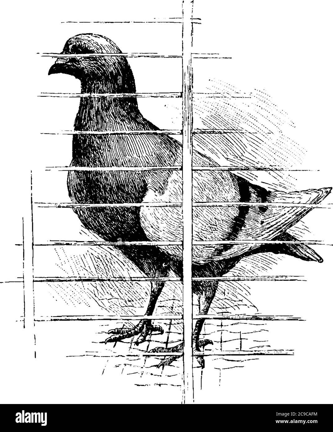 Una paloma con piernas cortas, cuentas cortas, cabeza pequeña en su cuerpo grande, compacto, plumas esponjosas adheridas libremente en la piel, en un loft, línea vintage Ilustración del Vector
