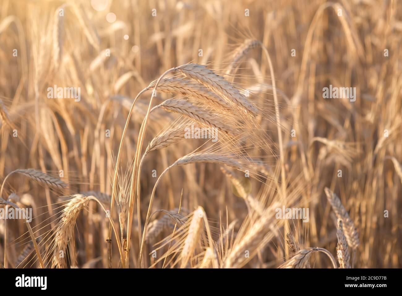 Campo de trigo. Espigas de trigo de oro de cerca. La naturaleza hermosa puesta de sol paisaje. Paisaje rural bajo la luz del sol brillante. Antecedentes de la maduración oídos de WH Foto de stock