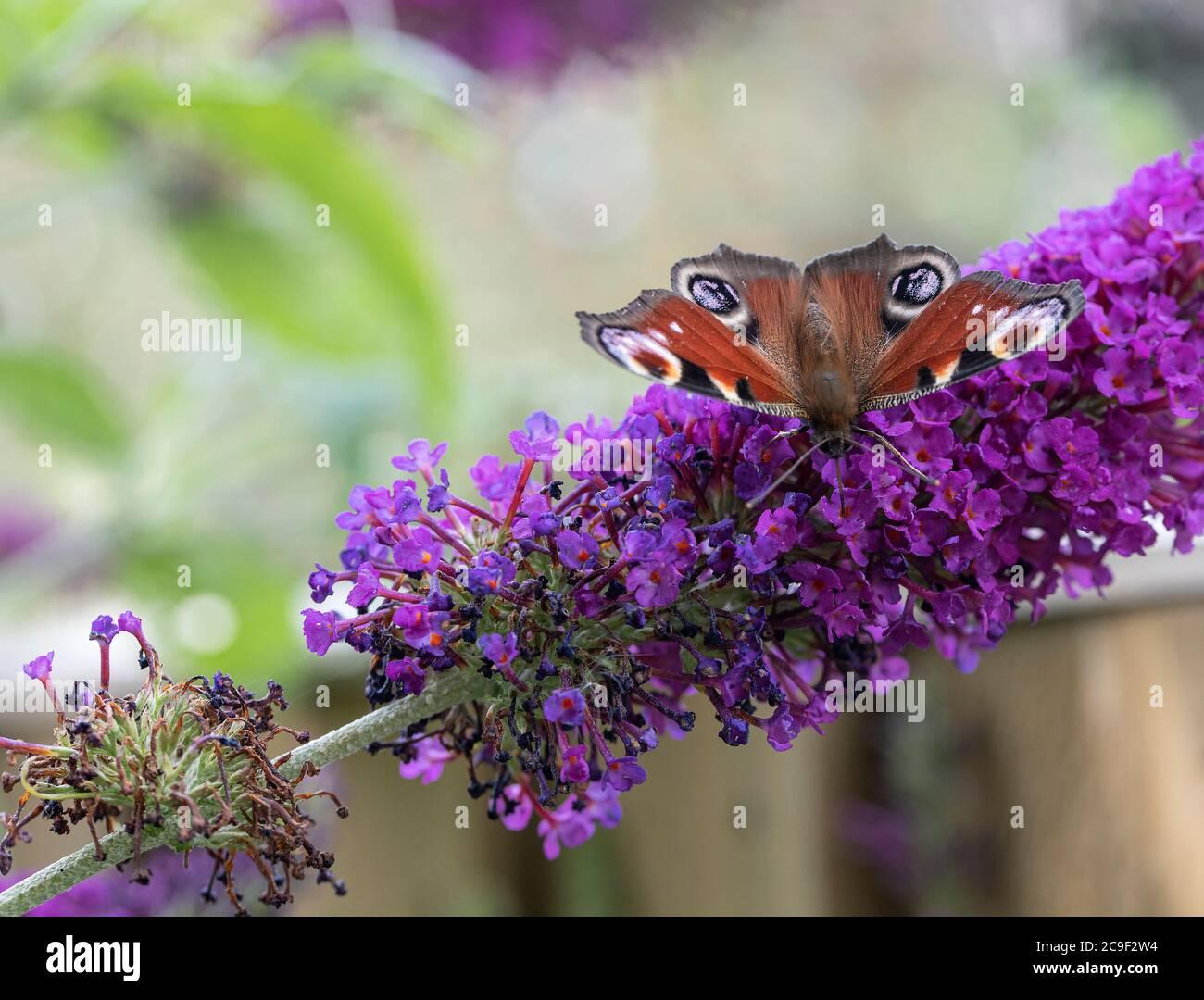 Una hermosa mariposa de pavo real alimentándose del néctar en una flor púrpura de Buddleja en un jardín en Allager Cheshire Inglaterra Reino Unido Foto de stock