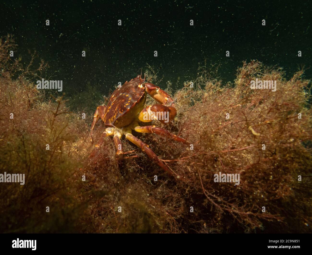 Una foto bajo el agua de primer plano de un cangrejo tomando refugio en algas marinas. Foto de Oresund, Malmo en el sur de Suecia. Foto de stock