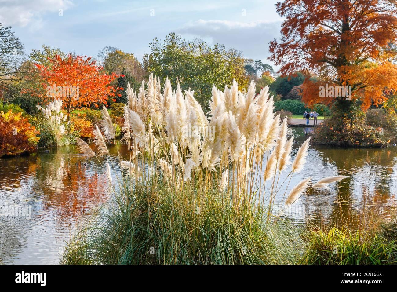 Ornamentales (hierba de la pampa Cortaderia selloana) por parte del estanque en Wakehurst Place, Ardingly, West Sussex, Reino Unido, con árboles en colores de otoño Foto de stock