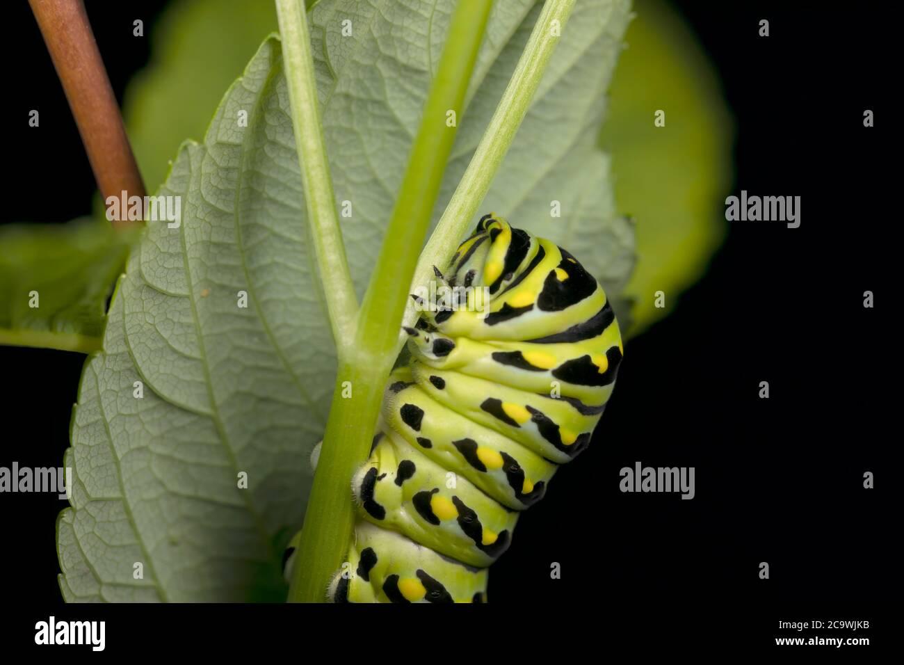 Orugas negras Swallowtail. En América del Norte son especies más comunes. Es la mariposa estatal de Oklahoma y Nueva Jersey. Foto de stock