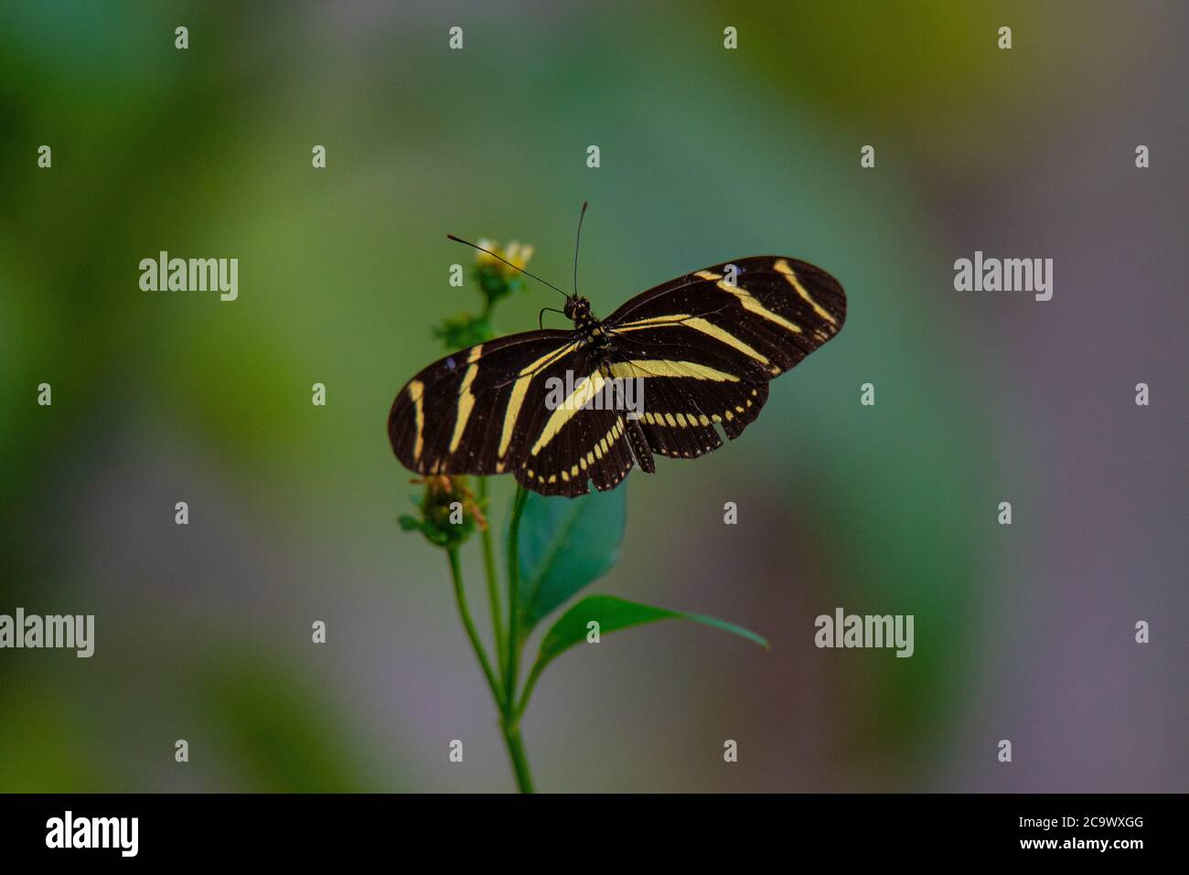 Mariposa de ala larga Zebra descansando en una planta Foto de stock