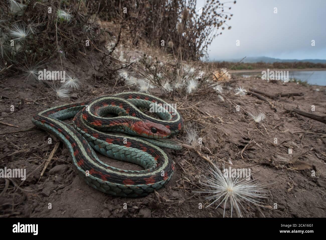 Una serpiente de garterpias roja de california (Thamnophis sirtalis infernalis) descansando junto a un estanque de ganado en Point Reyes National Seashore en CA. Foto de stock