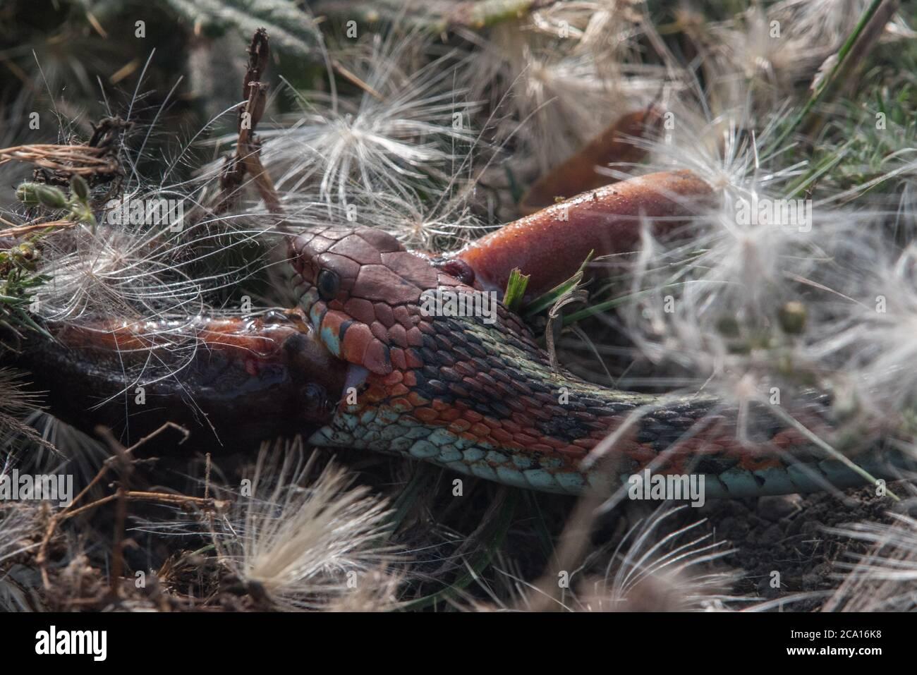 Una serpiente de cola roja de california (Thamnophis sirtalis infernalis) comiendo un newt (Taricha torosa), 1 de los pocos depredadores que pueden manejar las toxinas del newt. Foto de stock