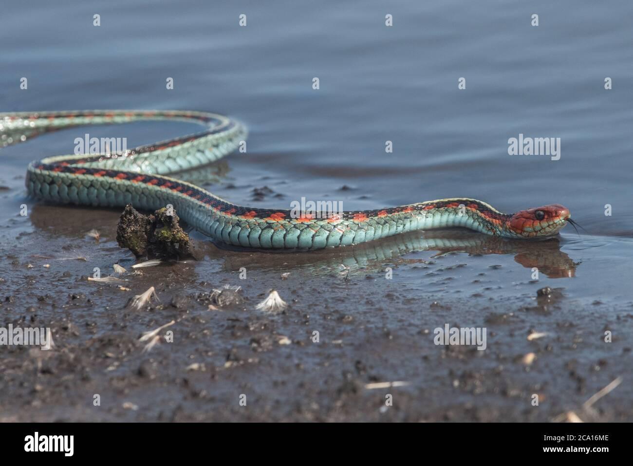 Una serpiente de color rojo de California (Thamnophis sirtalis infernalis), posiblemente una de las serpientes más bellas de América del Norte. Foto de stock