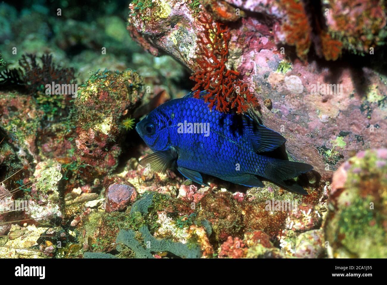 Azul Damegoísta, Cadenat's Chromis, 'Chromis cadenati', durmiente, corales cercanos, Isla Rolas, Santo Tomé Foto de stock