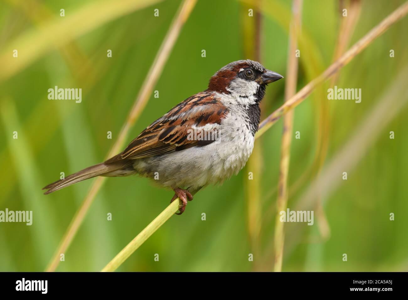 Primer plano de un gorrión de la casa masculina (passer domesticus) encaramado en una rama Foto de stock