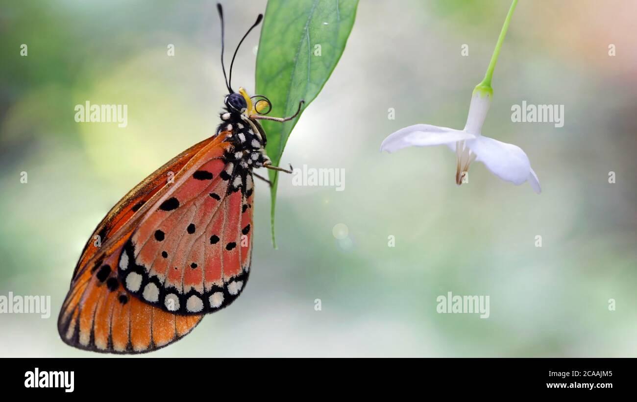 Elegante mariposa monarca naranja descansando sobre una hoja junto a una flor blanca. Macro fotografía de este gracioso y frágil Lepidoptera Foto de stock