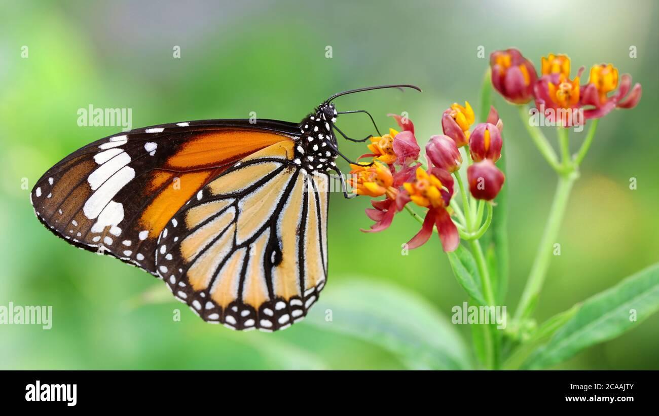 Elegante mariposa monarca naranja descansando sobre flores multicolores. Macro fotografía de este elegante y frágil Lepidoptera Foto de stock