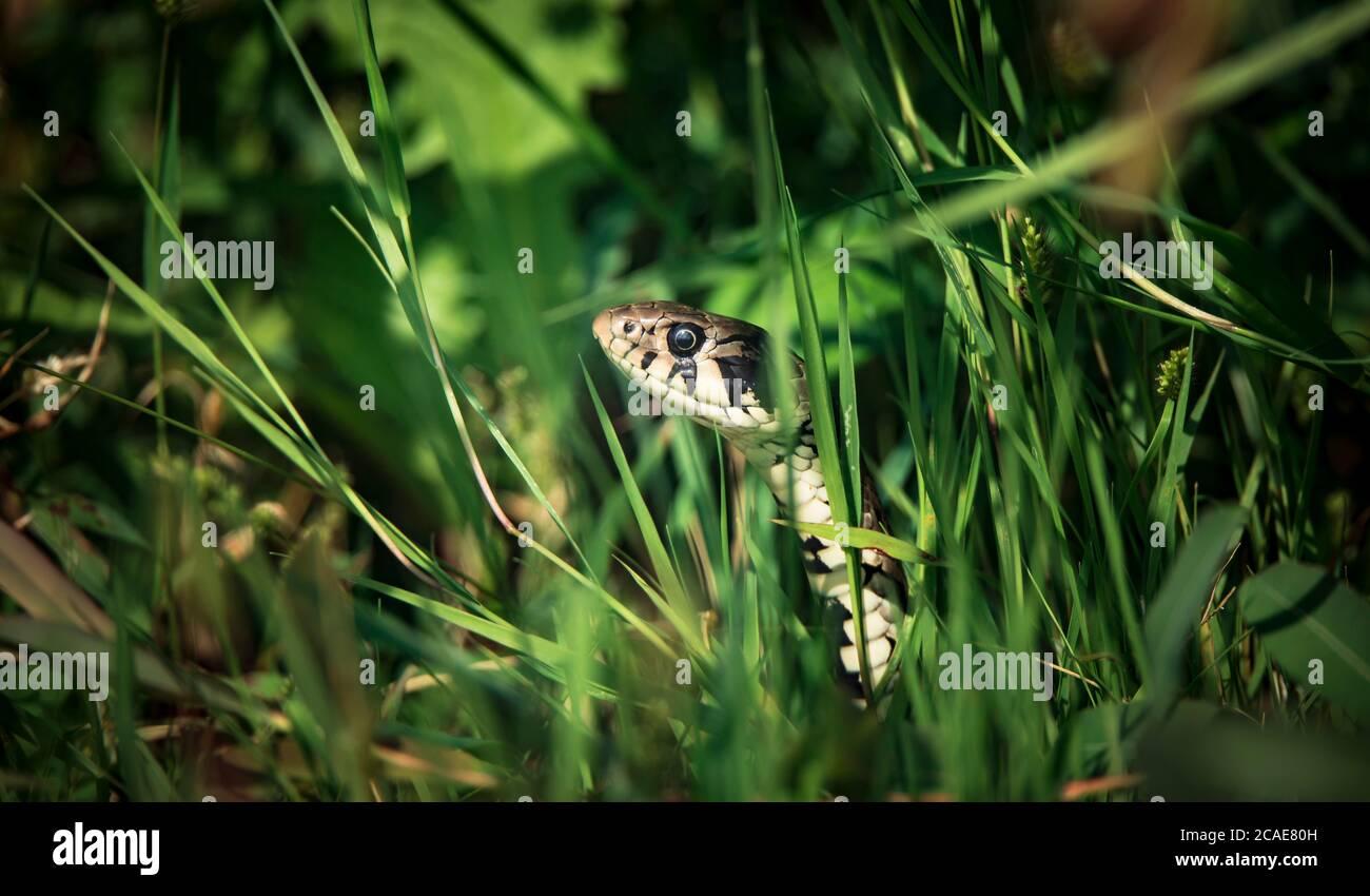 La hierba de la serpiente Natrix natrix, la serpiente se esconde en la hierba y está en la caza, la mejor foto. Foto de stock