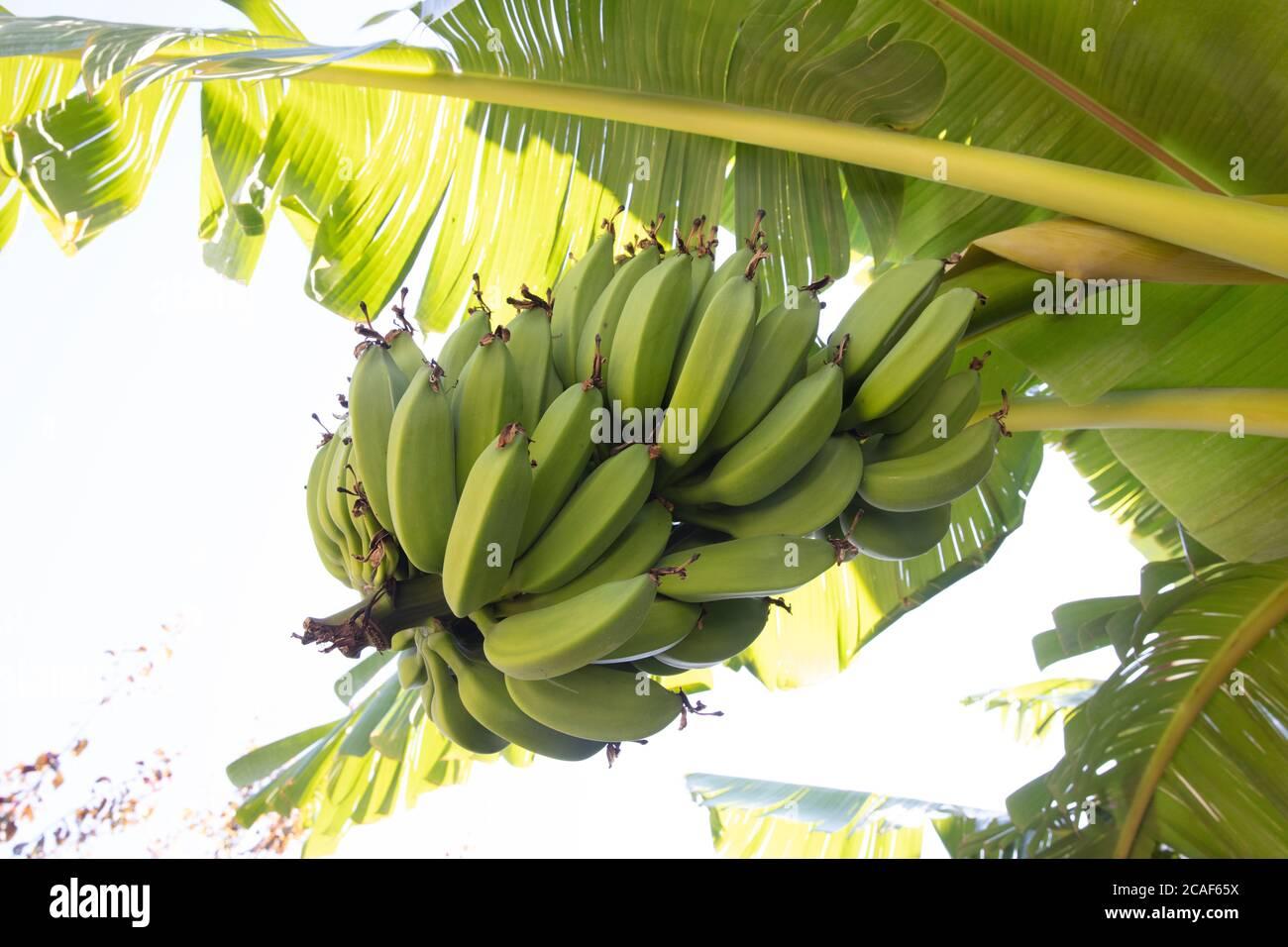Plátano verde joven orgánico en un racimo en un árbol. Racimo de plátanos inmaduros en un árbol. Las frutas de plátano se desarrollan a partir de la inflorescencia también conocida como plátano he Foto de stock