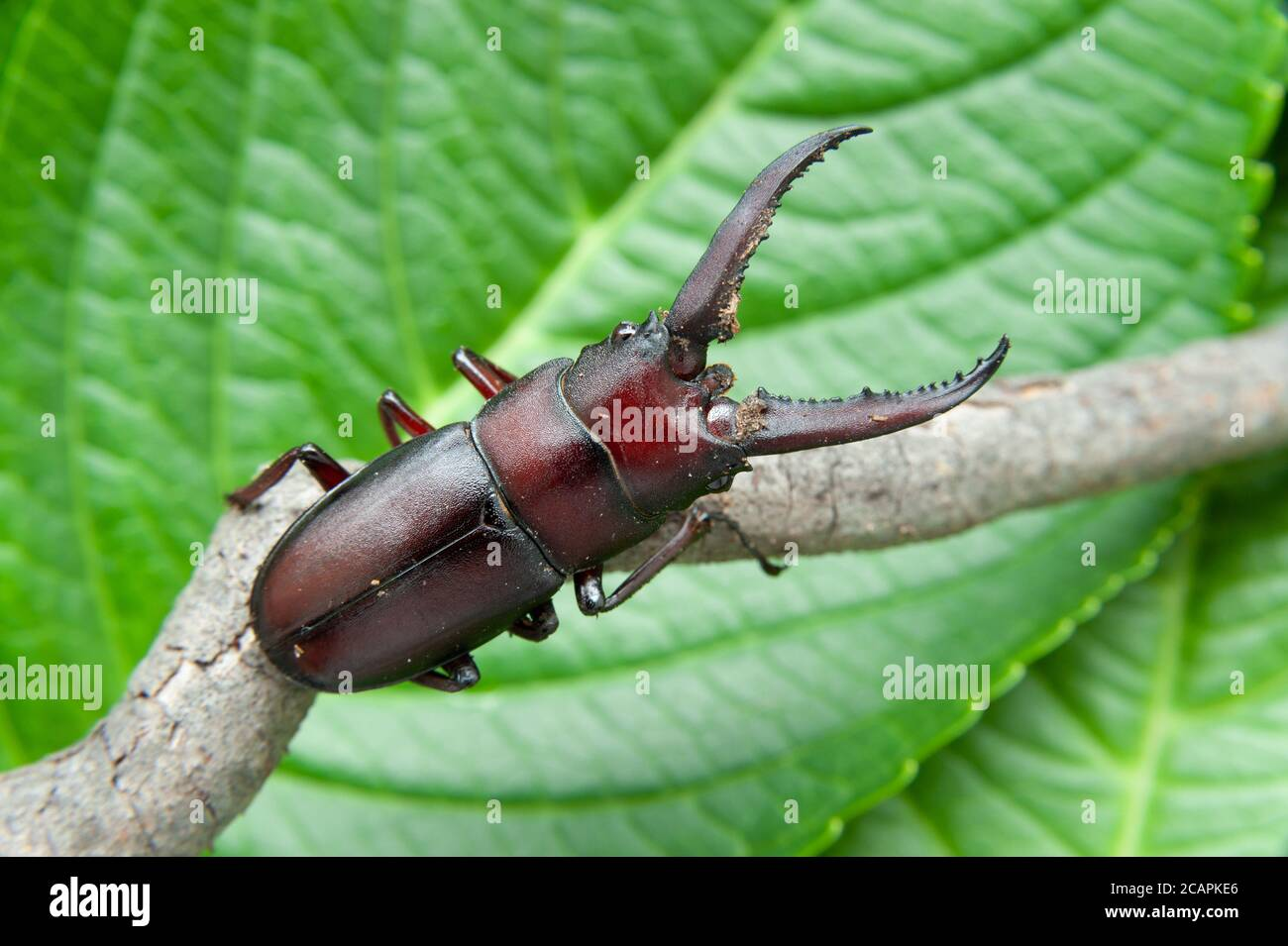 El escarabajo japonés llamado en japón kuwagata mushi. Aislado sobre fondo de hojas verdes. Primer plano. Foto de stock