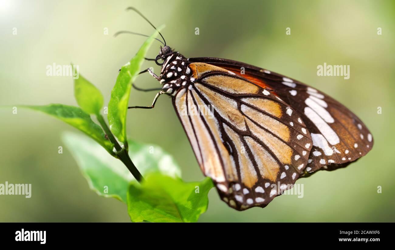 macro fotografía de este gracioso y frágil insecto lepidoptera sobre una hoja en un botánico tropical Foto de stock