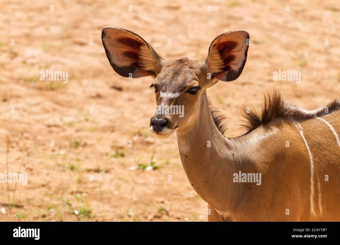 Mayor vaca femenina kudu, 'Tragelaphus strepicémiceros', cara con orejas grandes y ojos. Reserva Nacional Samburu, Kenia, África. Gran antílope silvestre de orejas Foto de stock