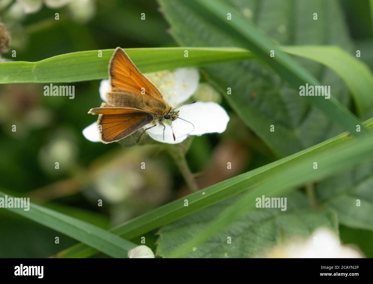 Una pequeña mariposa patrón (Reino Unido) que se alimenta de la flor de la zarza. Foto de stock