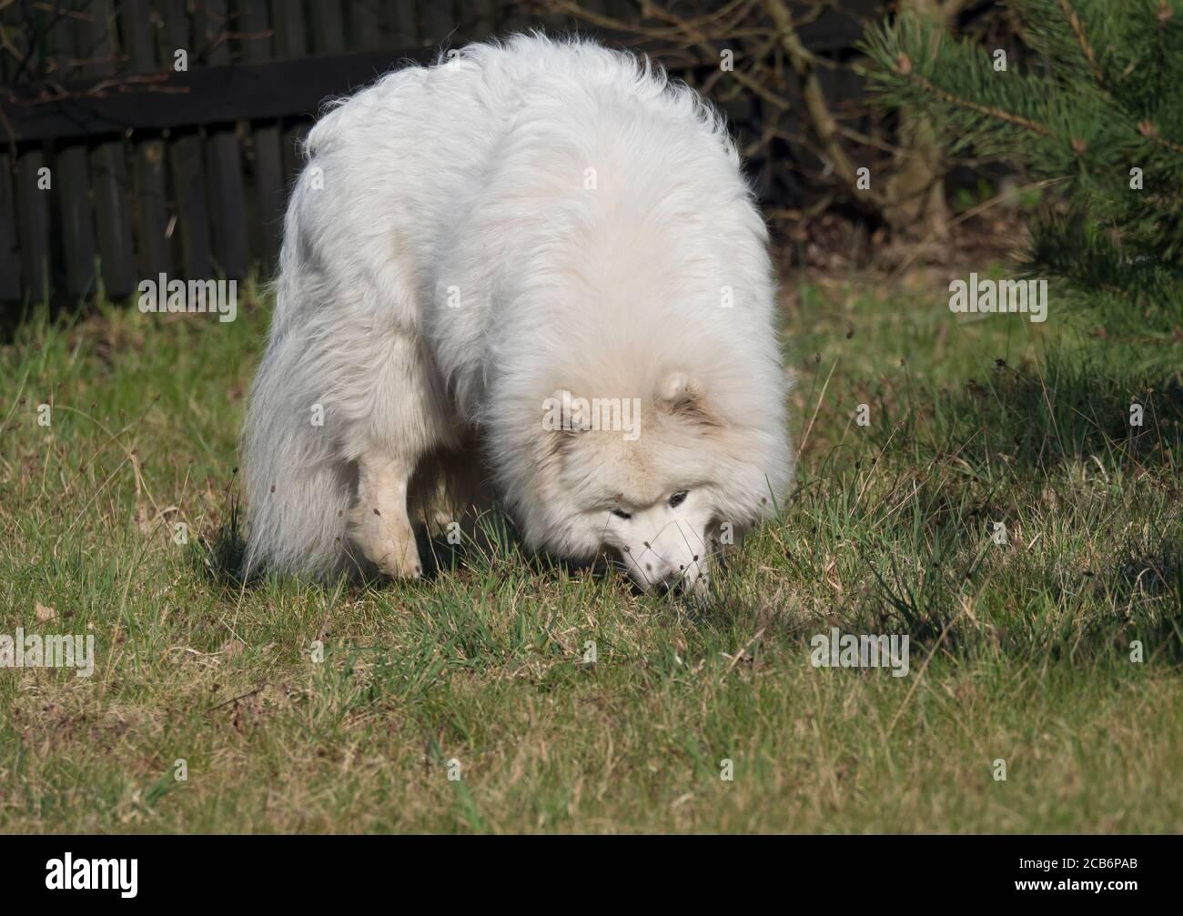 Perro joven Samoyed con pelaje blanco y esponjoso cavando y oliendo en el jardín verde de la hierba. Lindo y feliz perro ruso Bjelkier es una raza de perros pastores grandes. Foto de stock