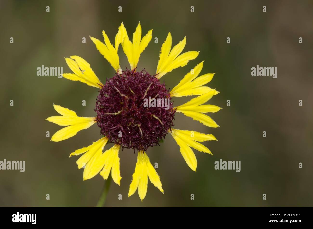 Lanceleaf Blanketflower, Gaillardia aestivalis Foto de stock