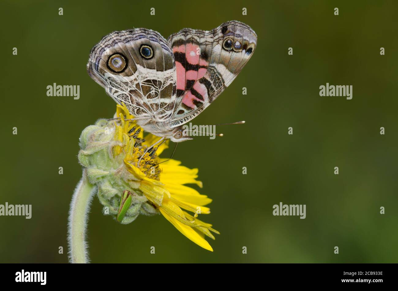 Dama Americana, Vanessa virginiensis, nectaring de Ashy Sunflower, Helianthus mollis Foto de stock
