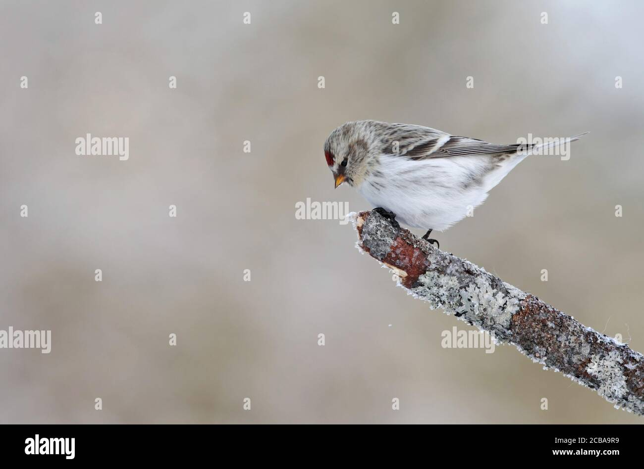 arctic redpoll, hoary redpoll (Carduelis hornemanni exilipes, Acanthis hornemanni exilipes), persiguiendo en una rama rota, vista lateral, Finlandia, Kaamanen Foto de stock