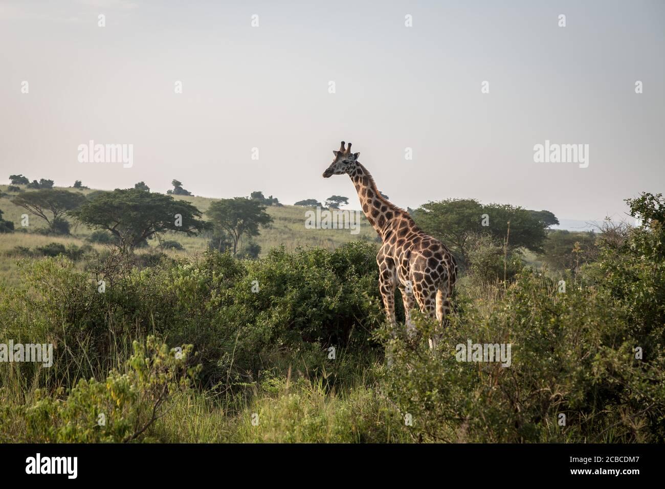 En Murchison Falls, el parque nacional más grande de Uganda, aparece una jirafa. La caza furtiva ha aumentado en Murchison Falls desde que comenzó la pandemia, mientras que se espera que Uganda pierda más de mil millones de dólares en turismo este año. Foto de stock