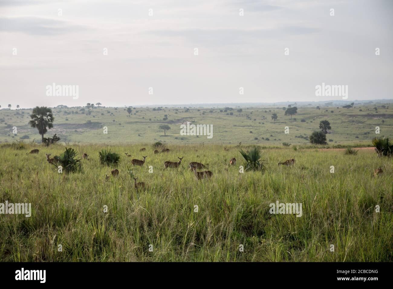 Los kobs ugandeses se encuentran en las cataratas Murchison, el parque nacional más grande de Uganda. La caza furtiva ha aumentado en Murchison Falls desde que comenzó la pandemia, mientras que se espera que Uganda pierda más de mil millones de dólares en turismo este año. Foto de stock