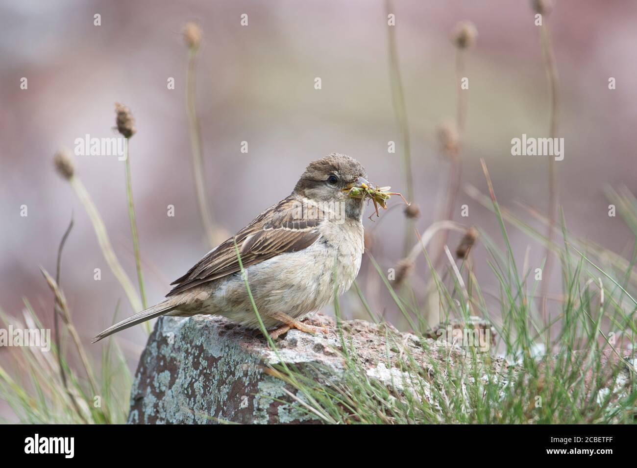 Sparrow de casa femenina (Passer domesticus) con presa saltamontes Foto de stock