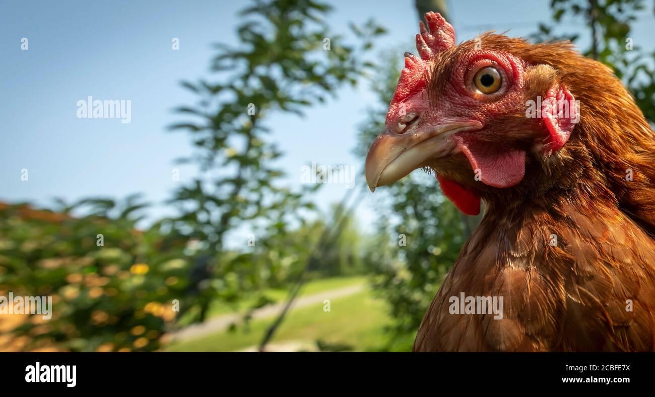pollos de granja en una granja orgánica en estiria, austria Foto de stock