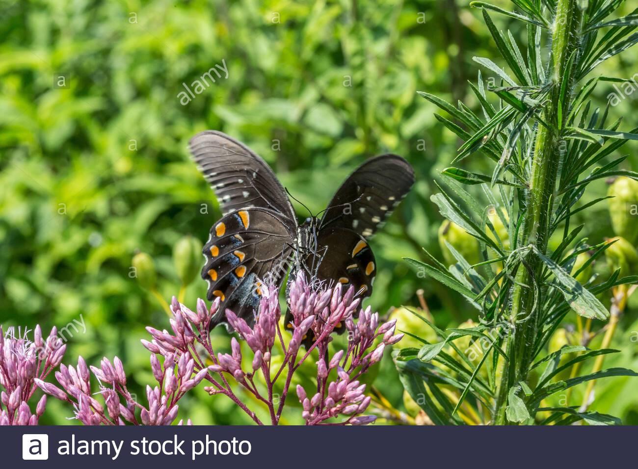 mariposa de pico de pico (papilio troilus) en la hierba hueca joe pye (eutroquium fistulosum) Foto de stock
