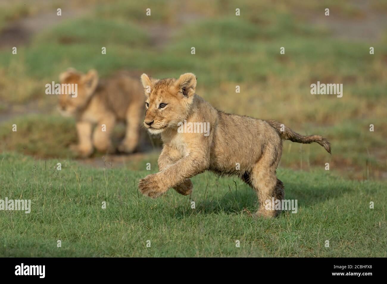 Cute cachorro de león corriendo a través de hierba verde con hermano adentro Fondo en la cálida luz de la tarde en Ndutu Tanzania Foto de stock