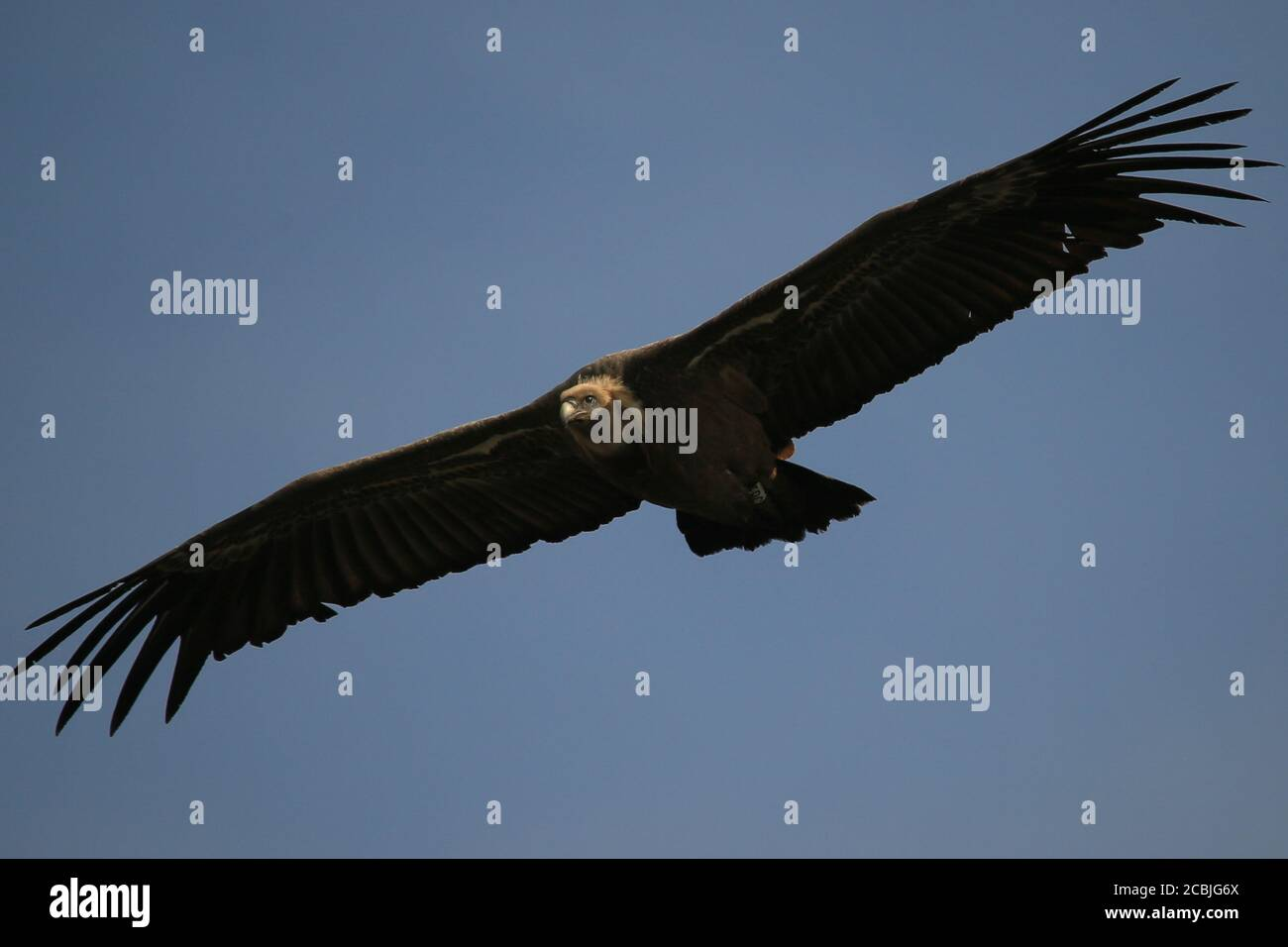 Griffon Vulture volando en las Gorges du Verdon, Provenza, Francia. Foto de stock