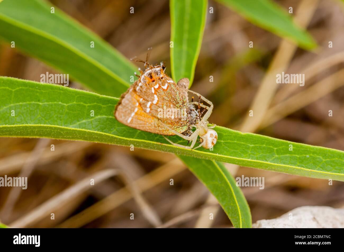 Una araña de cangrejo atrapó una mariposa de enebro de oliva hairstreak en el Hill Country de Texas cerca de Hunt, Estados Unidos. Foto de stock
