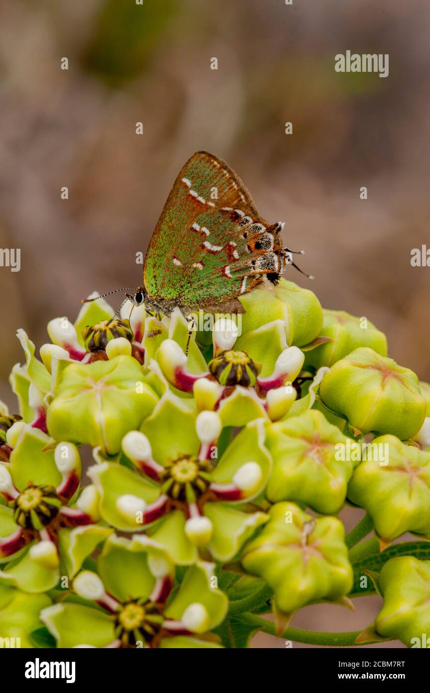 Un pelo de la enebro de oliva (Callophrys gryneus gryneus) Mariposa en una Asclepias asperula (Antelope-Horns Milkweed) Flor en el país de la colina de Te Foto de stock