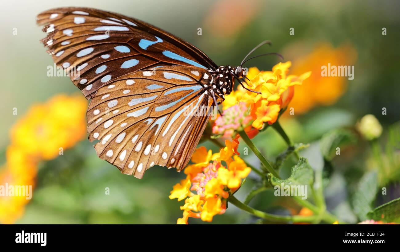 Mariposa monarca volando sobre flores amarillas en busca de polen. Macrofotografía de este insecto lepidoptera gracioso y frágil Foto de stock