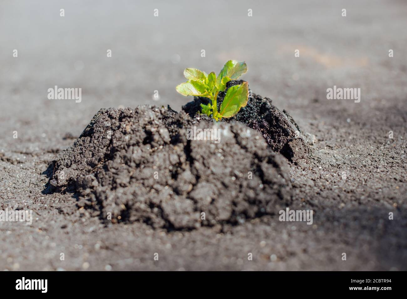 El primer plano de la planta verde hace el camino a través del hormigón y el asfalto, creciendo en la carretera - nueva vida, el poder de la naturaleza, romper las reglas, la puesta en marcha y fuera de t Foto de stock