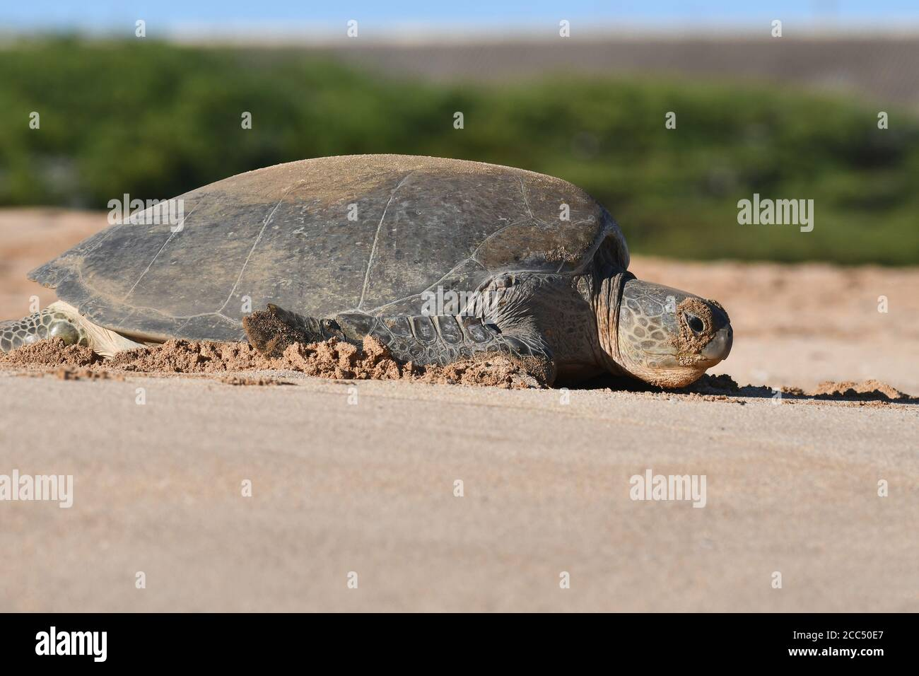 Tortuga verde, tortuga de roca, tortuga de carne (Chelonia mydas), hembra en la playa, isla de Ascensión Foto de stock