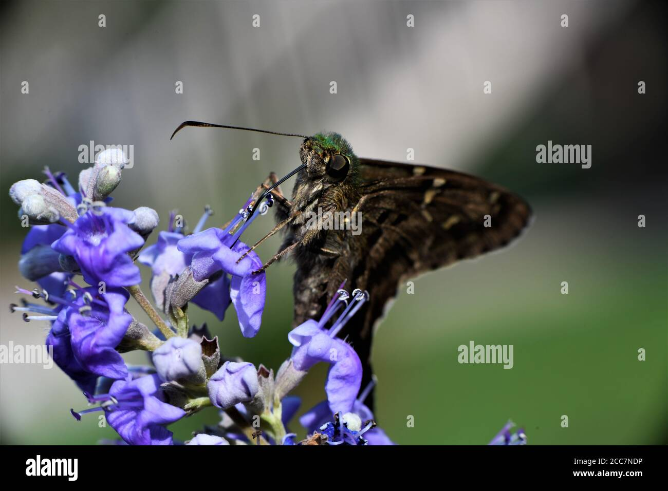 Una mariposa de cola larga patrón chupar néctar de una flor de la wisteria. Foto de stock
