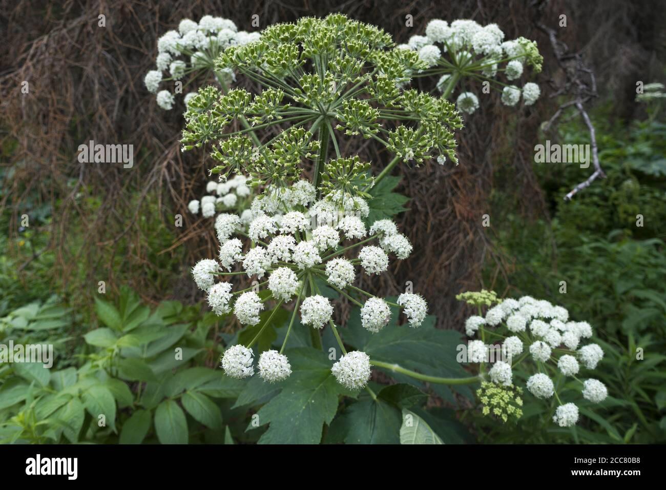 White Swamp Milkweed o Asclepias incarnata Close-up Macro, género de planta herbácea, perenne, floreciente que crece en el Parque Provincial BC Bosque Bush Foto de stock