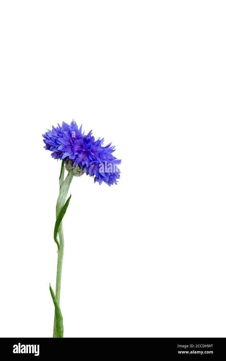 la flor aislada se encuentra sobre fondo blanco Foto de stock