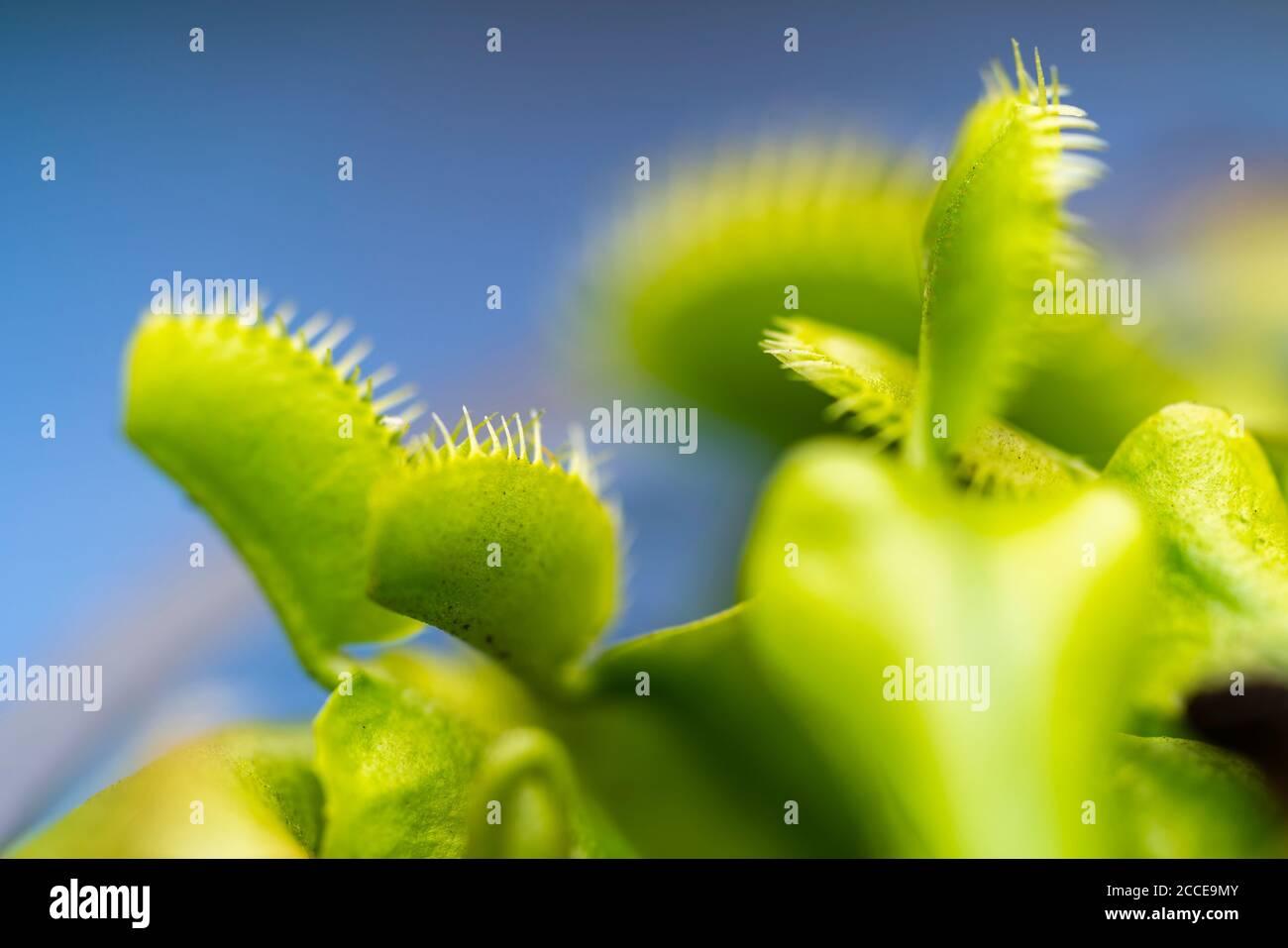 Primer plano, naturaleza, Jardín, Flor, crecimiento, Resumen, planta carnívora Foto de stock