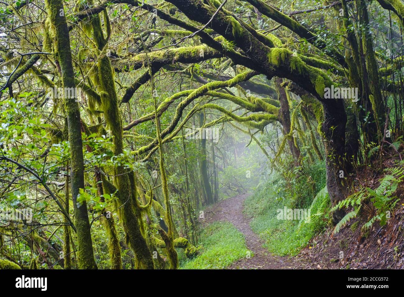 Ruta forestal en el bosque nuboso en el Cedro, Parque Nacional Garajonay, la Gomera, Islas Canarias, España Foto de stock
