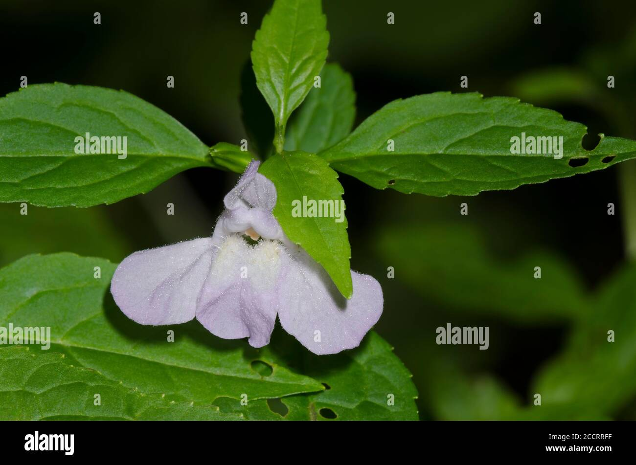 Sharpwing monkeyflower, Mimulus alatus Foto de stock