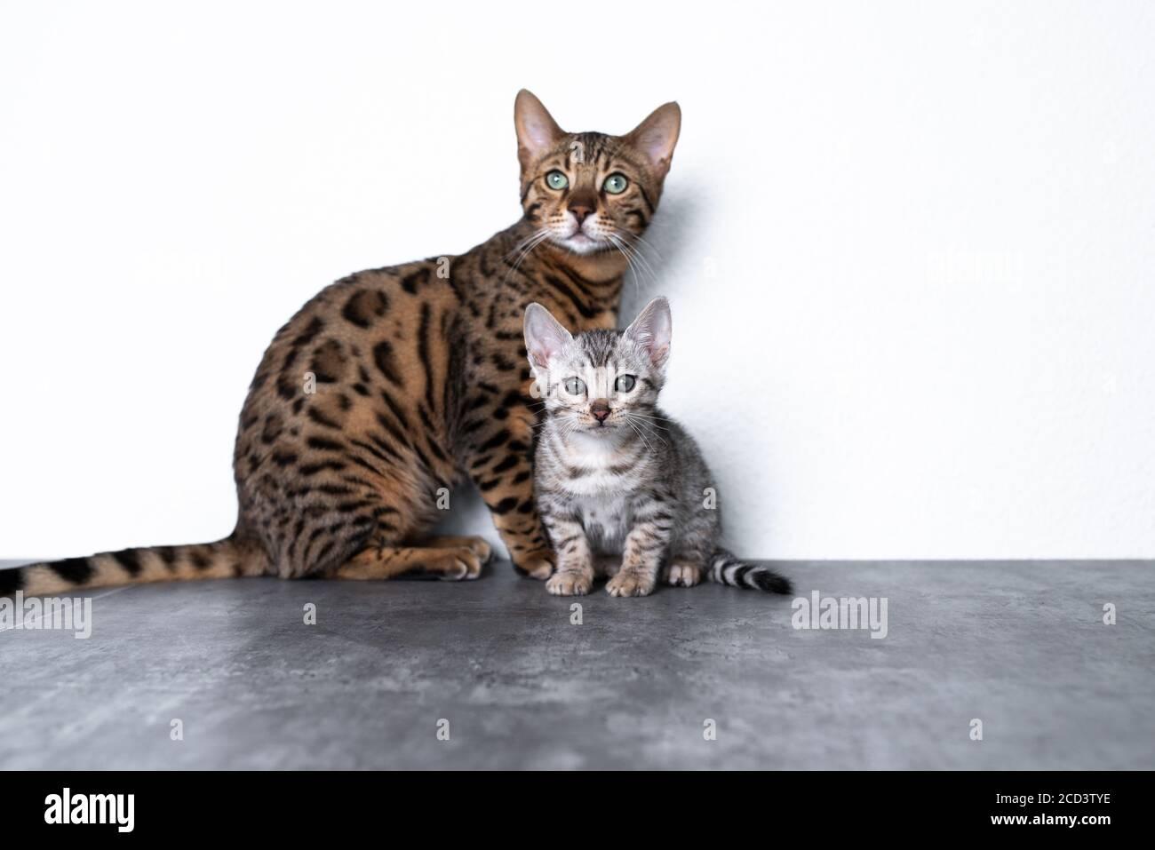 dos gatitos de bengala de pie en el suelo de hormigón delante de pared blanca mirando la cámara curiosamente Foto de stock