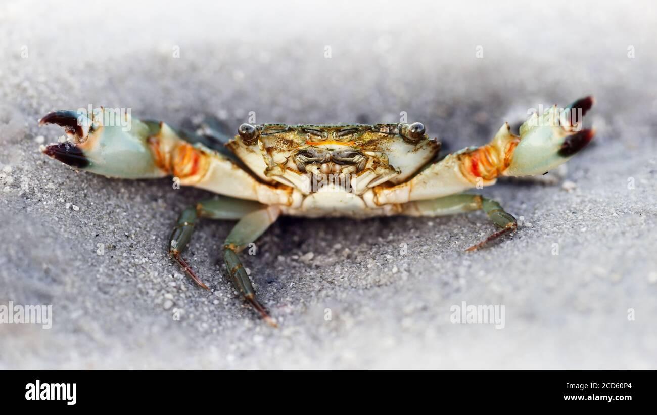 cangrejo fantasma negro en la playa, dos grandes ojos para ver el peligro, dos garras para la defensa, un fuerte caparazón para la protección Foto de stock
