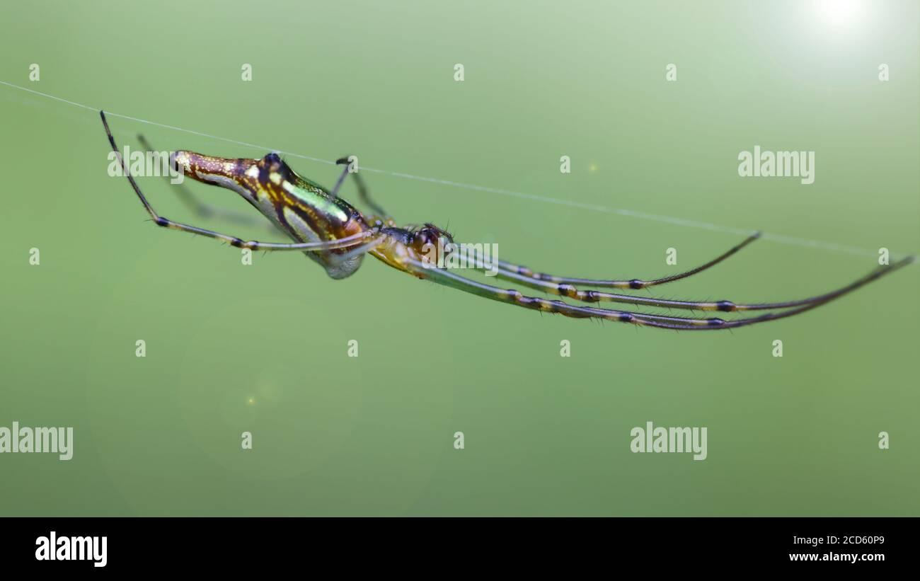 macro foto de una araña orbe dorada colgando en su línea. insecto gracioso y frágil pero espantoso depredador para los pequeños animales atrapados en su telaraña Foto de stock