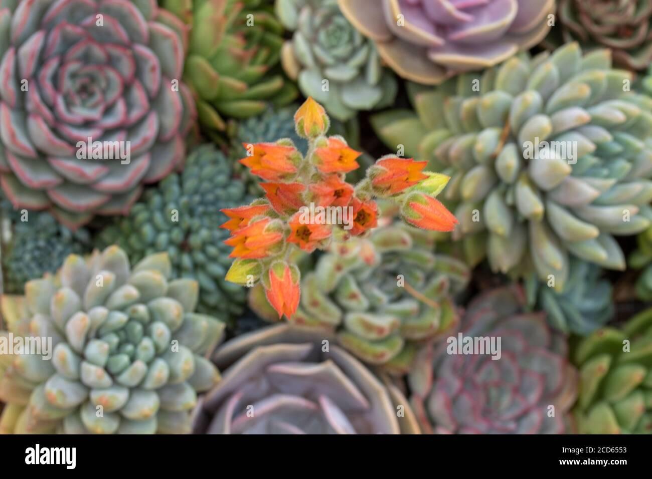 Sempervivum (houseleks) en primer plano, planta retrato Foto de stock